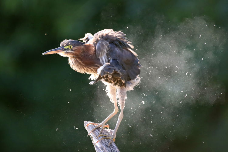 Close-up of green heron