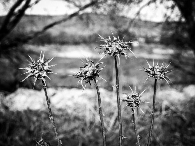 Nature Plant Flower No People Close-up Flower Head Thistle Wildflower Wilted Plant Dryed Flower Cardos Blackandwhite Black And White Black & White Bnw_captures Focus On Foreground Check This Out EyeEm Gallery Thorns