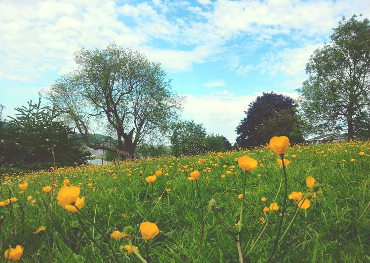 Yellow flowers growing on field