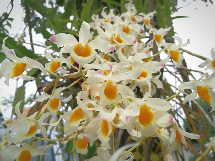 orchid. Orchid White Flower Thailand Close-up Yellow Nature Prickly Pear Cactus Flower Tree Flower Head Close-up Plant
