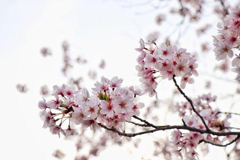 櫻咲—Cherry blossoms— Sakura OSAKA Japan Flower Flowering Plant Plant Freshness Fragility Tree Blossom Beauty In Nature Springtime Pink Color Low Angle View No People Cherry Blossom Focus On Foreground Nature Branch Close-up Vulnerability  Growth Day