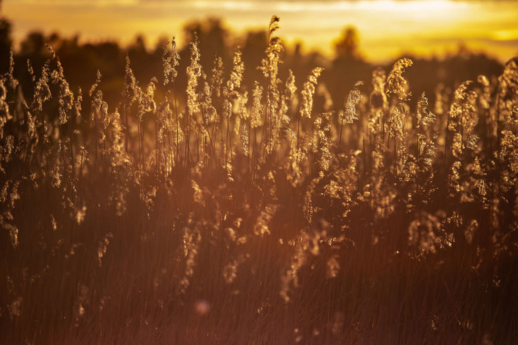 Plants growing on field during sunset
