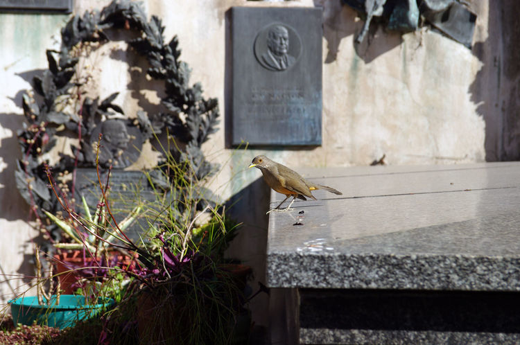 Recoleta cimetery is a lively one, with its proper nature and animals such as this lively bird standing on a tombstone Buenos Aires Cemetery Death Life Tomb Animal Themes Animals In The Wild Architecture Argentina Bird Building Exterior Built Structure Day Flower Monument Nature No People One Animal Outdoors Recoleta Recoleta Cemetery Sparrow Tombstone Tourism Travel Destinations EyeEmNewHere