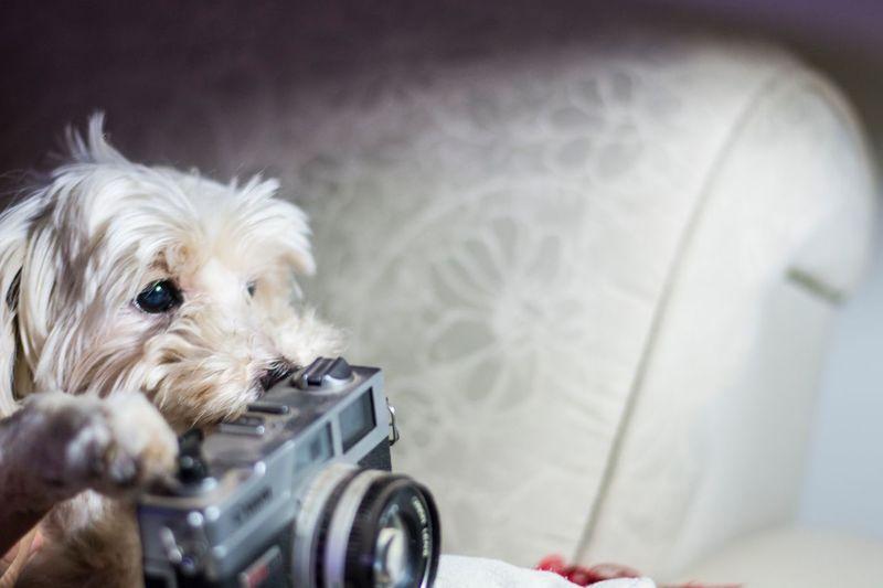 Domestic Canine