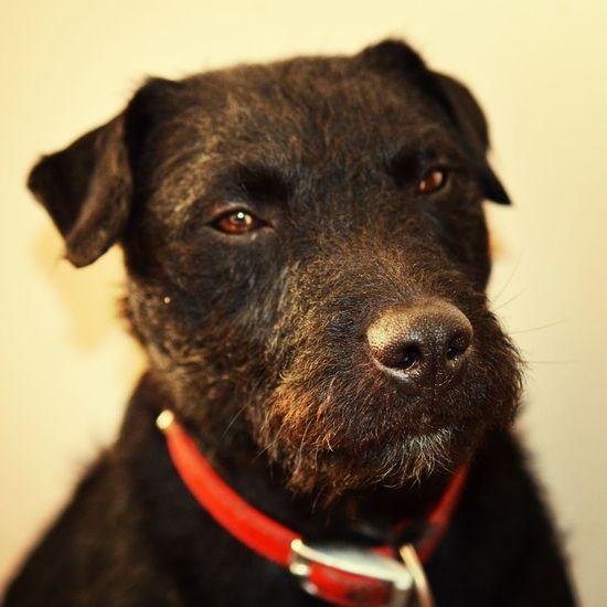 Close-up portrait of patterdale terrier dog