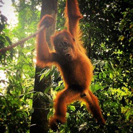 King Louie! - Who's the man? Jungle Awimbawe Sumatra  INDONESIA Orangutan Orangutans Bukitlawang Indonesia_photography Bukit Lawang North Sumatra