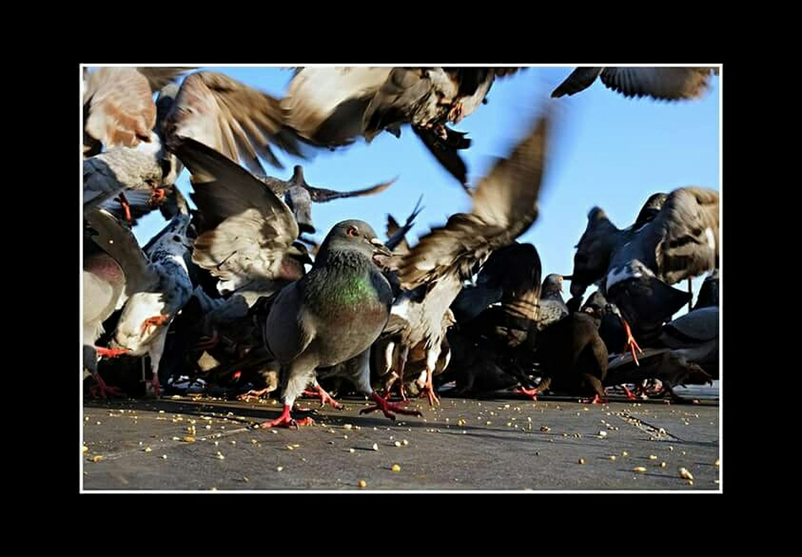 animal themes, transfer print, animals in the wild, bird, wildlife, auto post production filter, medium group of animals, togetherness, flock of birds, pigeon, full length, nature, day, outdoors, three animals, perching, two animals, zoology