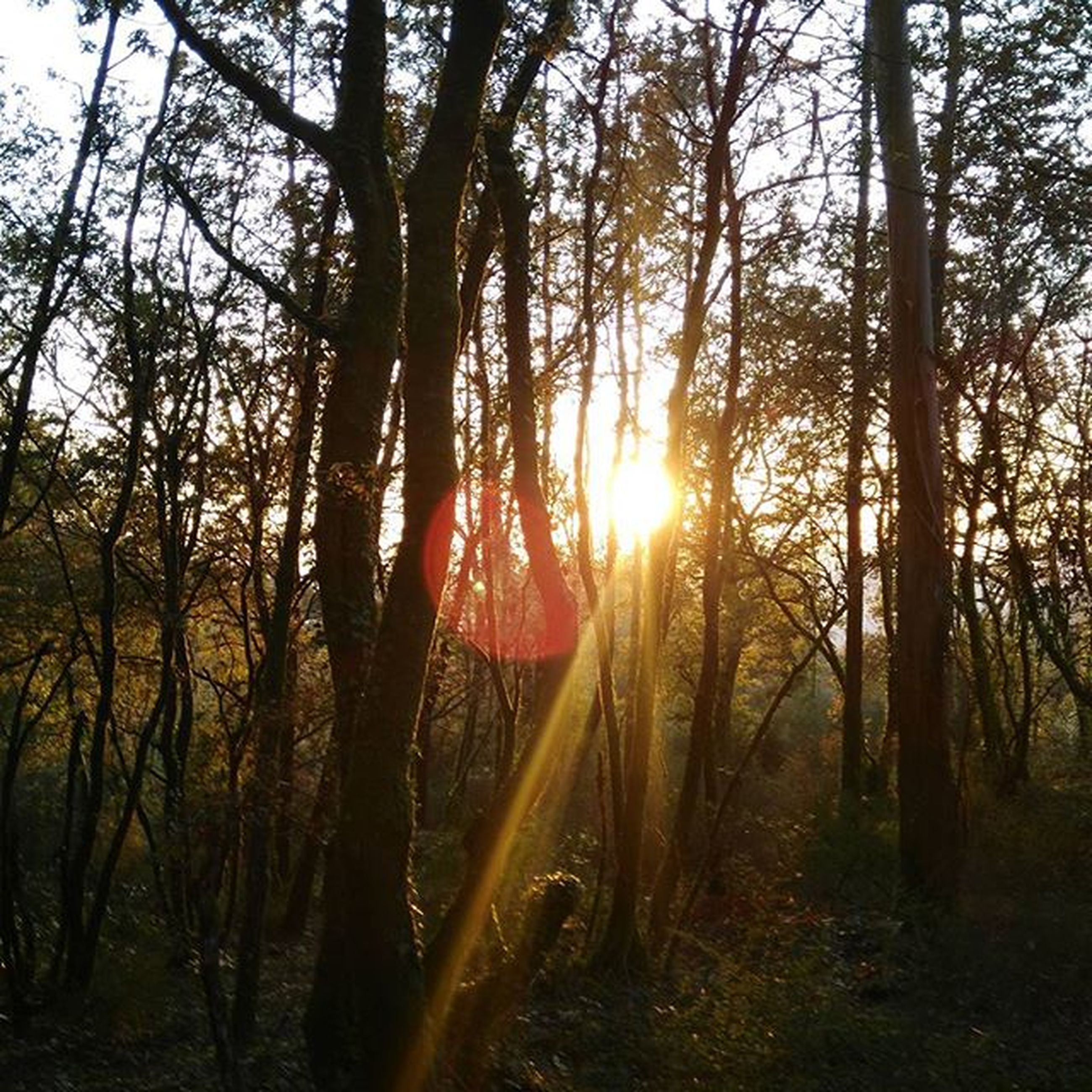 sun, tree, tranquility, sunset, tranquil scene, sunlight, sunbeam, tree trunk, scenics, beauty in nature, nature, forest, lens flare, growth, woodland, landscape, back lit, silhouette, sky, non-urban scene