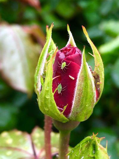 Close-up of rose bud