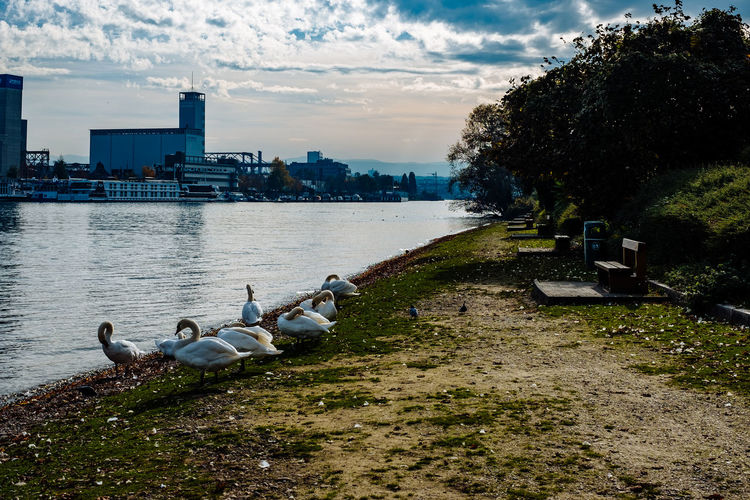 Swans at lakeshore against city