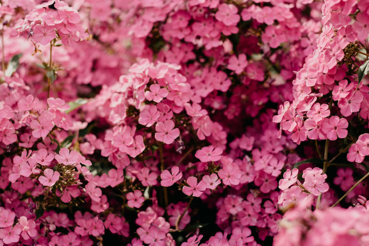 Flower Pink Color Flowering Plant Beauty In Nature Plant Petal Vulnerability  Full Frame Growth Freshness Fragility Backgrounds Close-up Inflorescence Flower Head Nature No People Day Abundance Outdoors Springtime Bunch Of Flowers