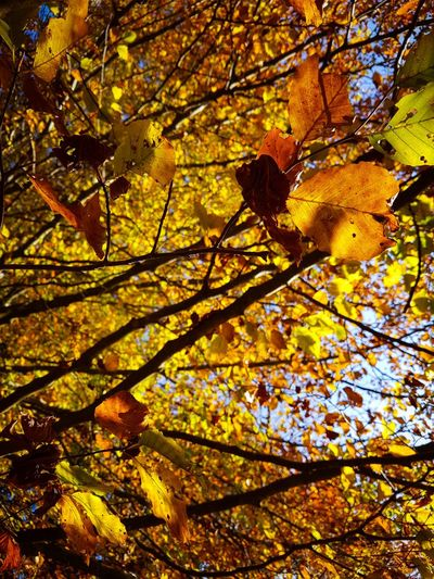 Tree Branch Nature Sunlight Outdoors Day Growth Beauty In Nature Close-up Sky Autumn Leaves Autumn Colors Orange Fagus Sylvatica Landscape Yellow Hiking Mountains Forest