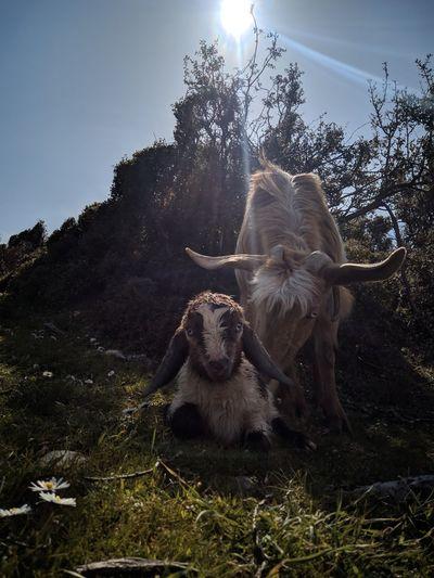 Goat and cub