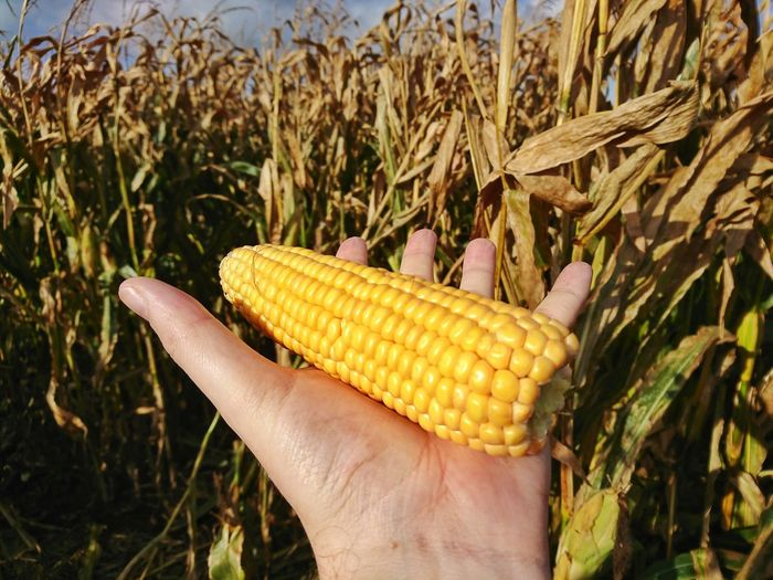 Close-up of hand holding corn on field