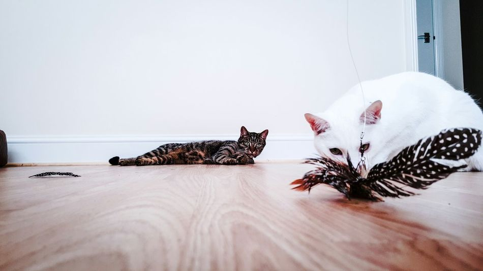 Capture The Moment Cat Cats Cat♡ Cute Pets Pets Pets Corner Pet Photography  Pet Pet Love EyeEm Gallery Popular Photos Eye4photography  Playing Low Angle View From My Point Of View Catsofinstagram Cat Lovers Catoftheday Caturday Catcatcat CATCATLOVER. Catcat Catsagram Pet Portrait