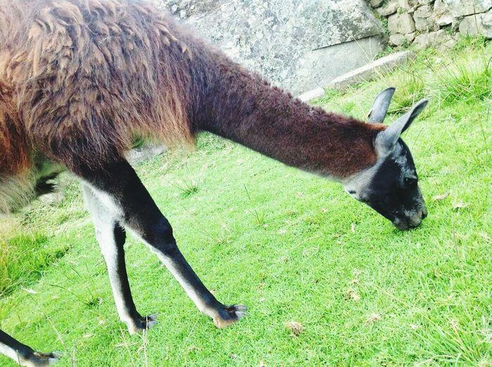 Lhama Peru Animal Machu Picchu Perfect City Cidade Perfeita Want To Go Back Queromais QueroVoltar Tourism