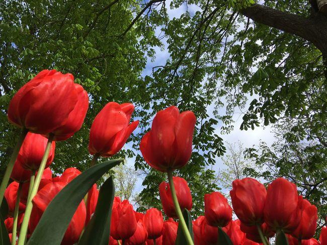 Tulips Springtime