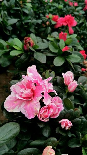 Flower Pink Color Growth Plant Nature Beauty In Nature Fragility Petal No People Day Outdoors Springtime Flower Head Freshness Close-up Water