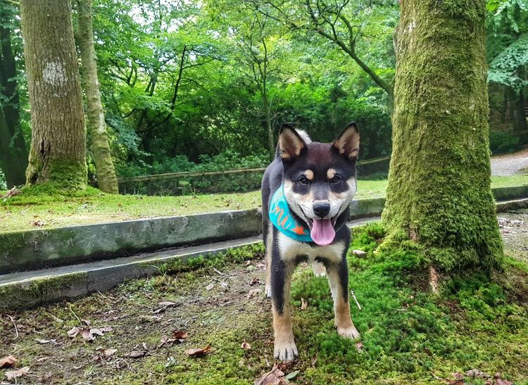 Dogs Of EyeEm Shiba Inu Pets Dog Portrait Park - Man Made Space Grass Green Color Blooming Tree Trunk Animal Tongue Canine