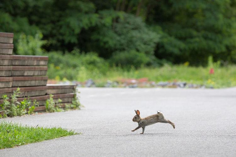 Side View Of Rabbit Running On Street