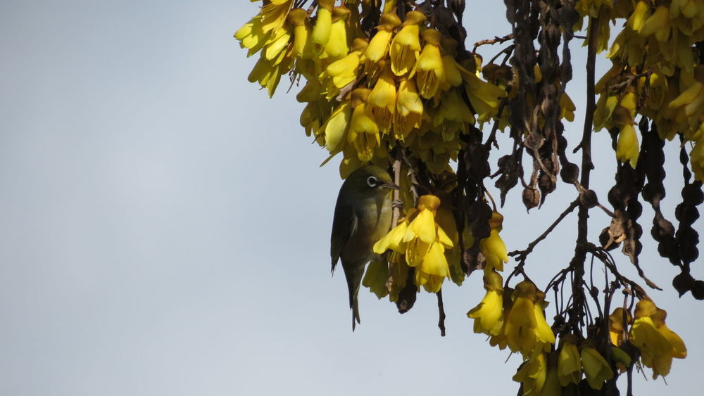 Yellow Tree Leaf Nature Autumn Branch Sky Beauty In Nature No People Growth Outdoors Low Angle View Scenics Fragility Day Close-up Freshness Grey Sky Native Trees Kowhai New Zealand Waxeye Nature Beauty In Nature Bird Paint The Town Yellow