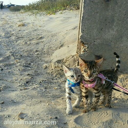 Leica and Argus at the beach. repost from IG. Cat Beach Kitten Bengal Cat Bengal Kitten