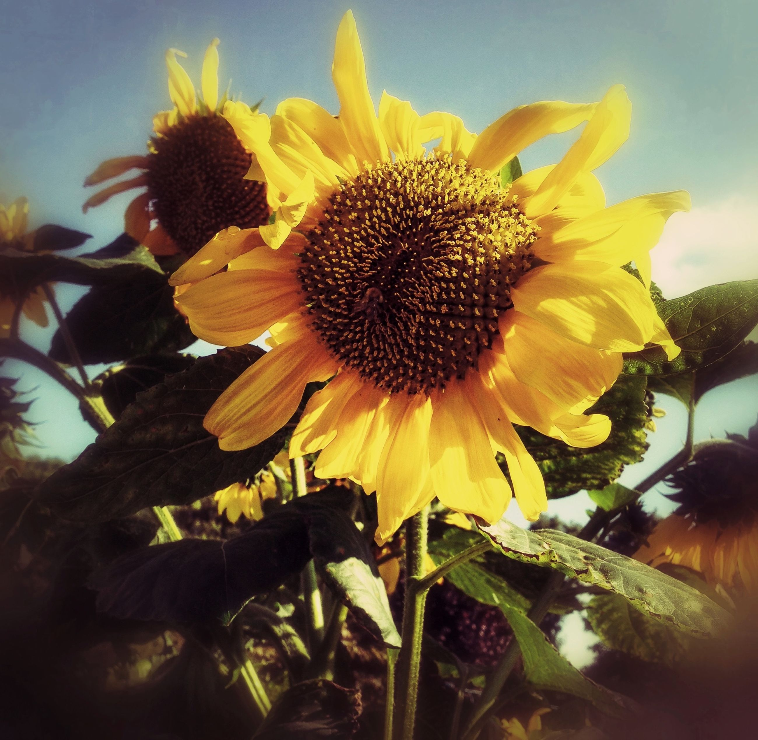 flower, yellow, petal, flower head, freshness, sunflower, fragility, growth, pollen, beauty in nature, close-up, blooming, plant, nature, single flower, sky, focus on foreground, in bloom, outdoors, no people