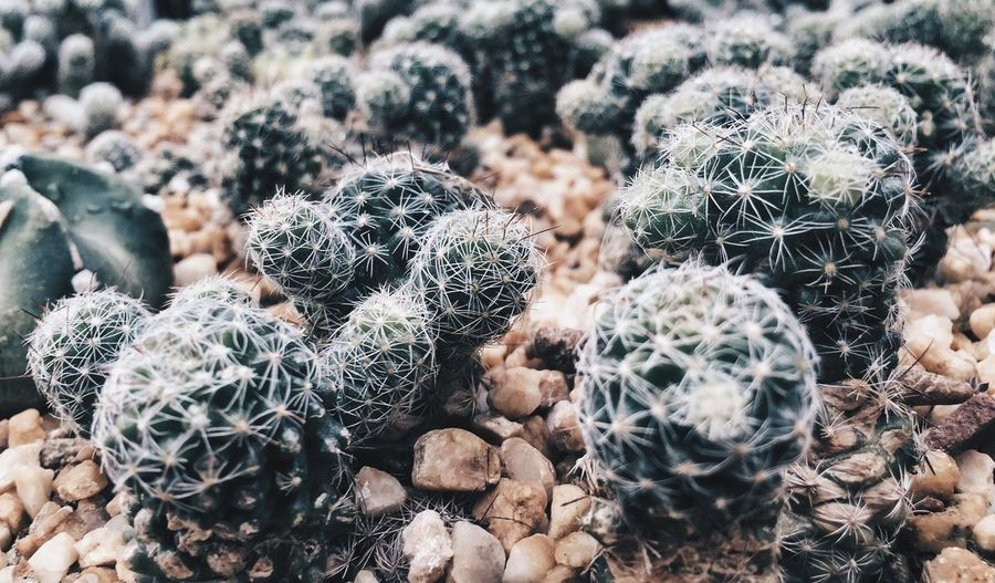 High angle view of cactus plants on gravel