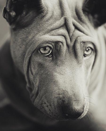 Dog Pets Thairidgeback Portrait Close-up Animal Head  Looking At Camera One Animal Welpe No People Hundewelpe Hundefotografie Puppy Amy Ridgebacks