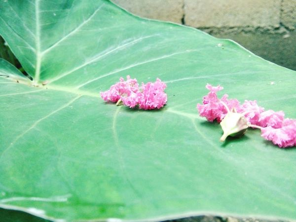 ''Not all the time someone will catch you.''Taking Photos Plants Flowers Flowers, Nature And Beauty Flower Collection Flowers,Plants & Garden Green Water On Leaf Pink Flower Falling Flowers