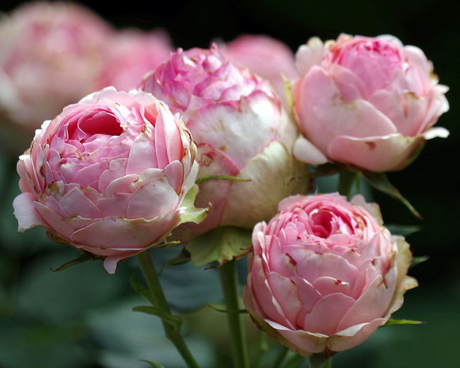 Close-up of pink roses growing outdoors