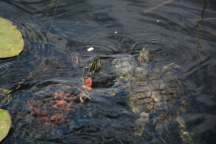 Florida red-bellied cooters or florida red belly turtle and a red-eared slider turtle in water