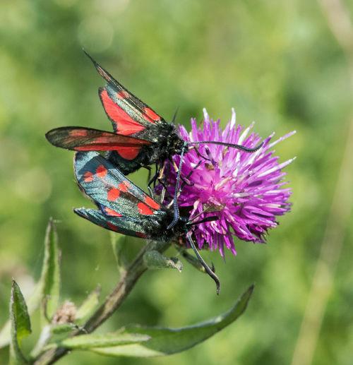 Burnet moths on
