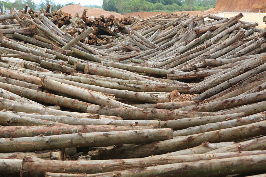 Acacia Acacia Tree Vietnam Abundance Close-up Day Food Freshness Large Group Of Objects Logs Nature No People Outdoors Raw Material Storrage Thick Timber Wood - Material