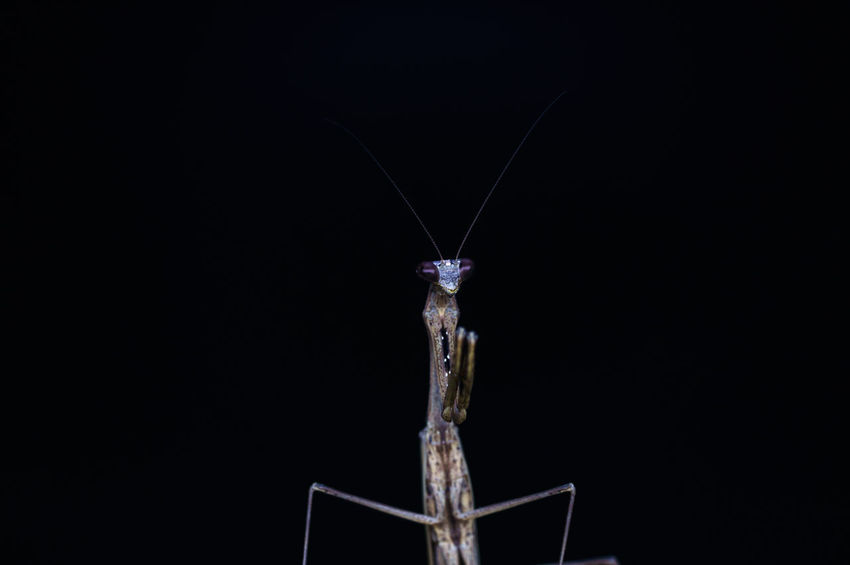 closeup view of mantis in nature Macro Photography Nature Nightphotography Animal Themes Backgrounds Black Background Close-up Closeup Eyes Macro Macro_collection Mantis Night Nightmacro No People Outdoors Studio Shot