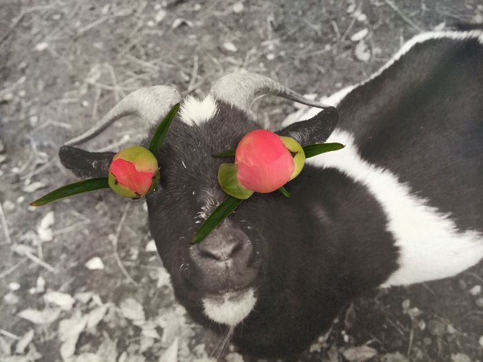 Flower Floweranimal Animal Goat Blackandwhite Color Pink Flower