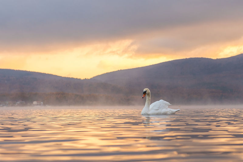 Swans swimming on lake against cloudy sky during sunset