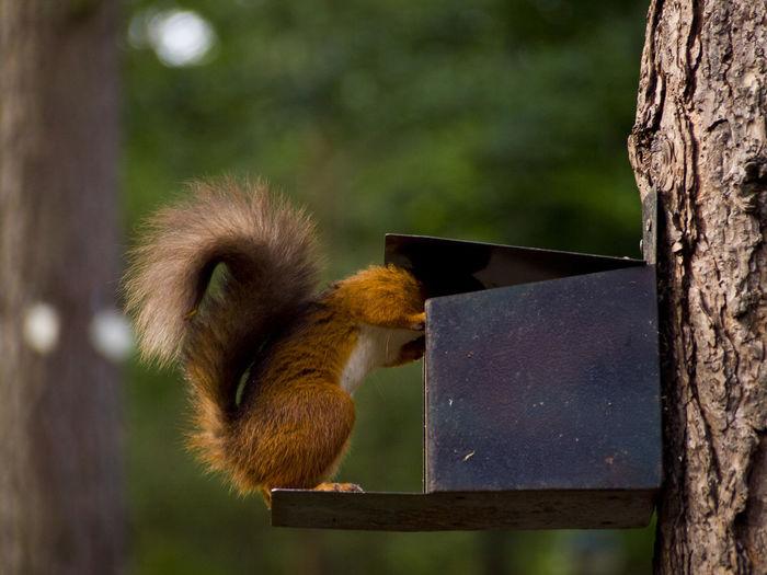 Squirrel sticking head into feeder