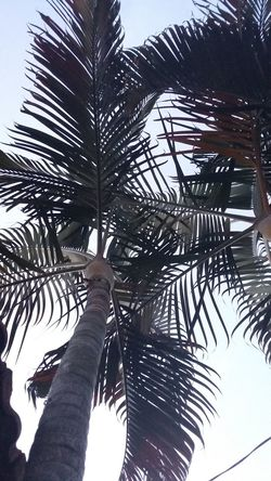 Tree Palm Tree Low Angle View Outdoors Day Growth Sky Nature Tree Trunk Tree Area No People Beauty In Nature Close-up Mygardenlove MyPhotography Myphonephotography