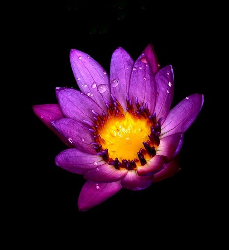 Purple lotus flower Flower Petal Flower Head Fragility Black Background Freshness Nature Beauty In Nature Yellow Purple No People Beauty Close-up Outdoors Bright Colors Exoticism Elégance Purple Flower Blooming Aquatic Flower Lotus Purple Lotus Single Flower Flowers Of EyeEm Flowers Of The World.