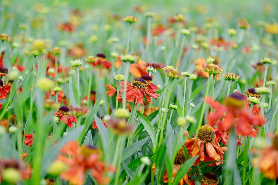 Helenium Hybride Moerheim Beauty Sneezeweed Botany Outdoors Blossom Blooming Summer Garden Garden Growth Plant Flowering Plant Flower Beauty In Nature Fragility Vulnerability  Nature Close-up No People Day Petal Selective Focus Green Color Flower Head Inflorescence Field Land Red Freshness