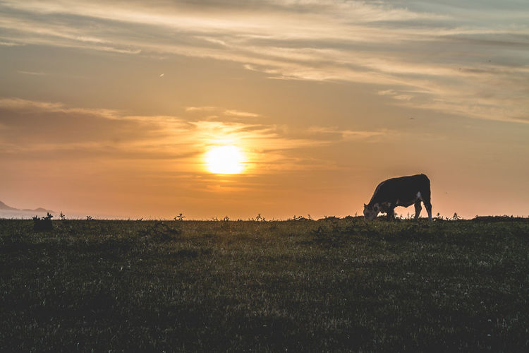Lonely Cow Beauty In Nature Cow Field Grassy Landscape Nature Rural Scene Scenics Sky Sun Sunset Sunset_collection Sunsetporn The Great Outdoors - 2016 EyeEm Awards Tranquility Travel Photography Traveling Feel The Journey 43 Golden Moments British Culture
