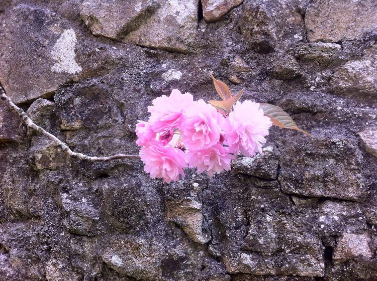 Simplicity in nature. Flowers,Plants & Garden Nature Beauty In Nature Cherry Blossom Close-up Day Flower Flower Head Flowering Plant Flowers Fragility Freshness Growth High Angle View Inflorescence Nature No People Outdoors Petal Pink Color Plant Rock Simplicity Springtime Vulnerability