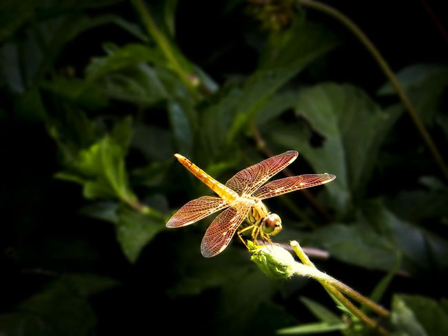 Dragonfly Nature Leaf Leaves Powai Powai Lake Insect Insect Photography Close-up Green Greenery