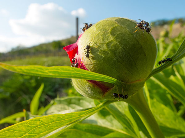 Gardening Green Color Peony Bud Ants At Work Ants On Peony Bud Beauty In Nature Close-up Garden Outdoors Peonies In Bloom Spring Flowers Spring Season Background