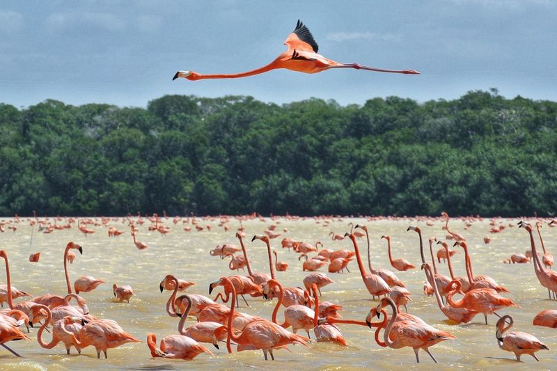 Flamingos. 🇲🇽 Pink Celestun Mérida Yúcatan Yucatan Mexico Mexico Peninsula LatinAmerica Nature Nature_collection Nature Photography Animals In The Wild Animal Wildlife Wildlife & Nature Wildlife Wildlife Photography National Park Natgeo Natgeoyourshot Flamingo Bird Tree Flying Colony Sky Landscape Spread Wings Flight Sea Bird Large Group Of Animals