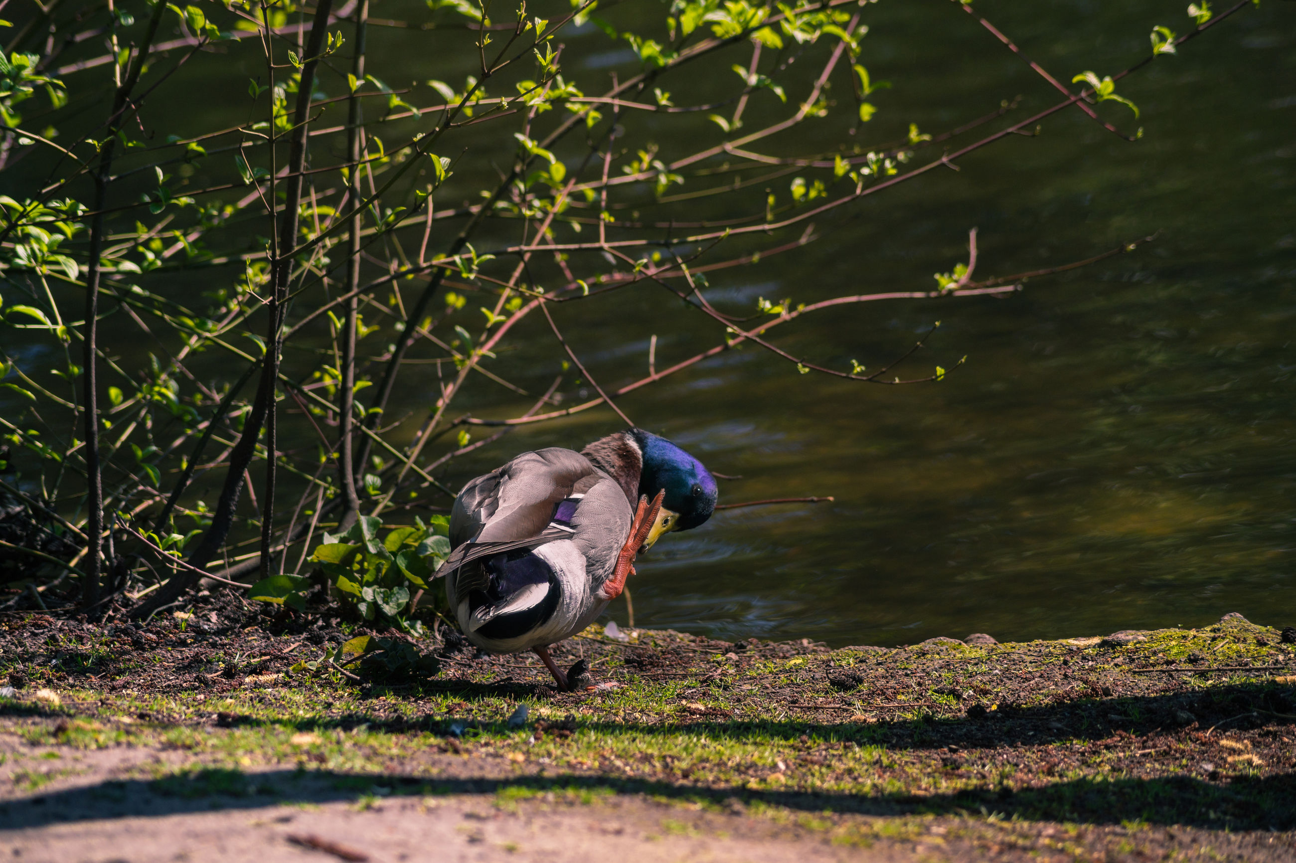 animal themes, animals in the wild, one animal, wildlife, water, bird, nature, lake, outdoors, beauty in nature, side view, day, swimming, no people, full length, zoology, tree, close-up, two animals, plant