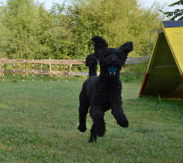 Agility Black Color Domestic Animals Grass Labradoodle Black No People Outdoors Playing