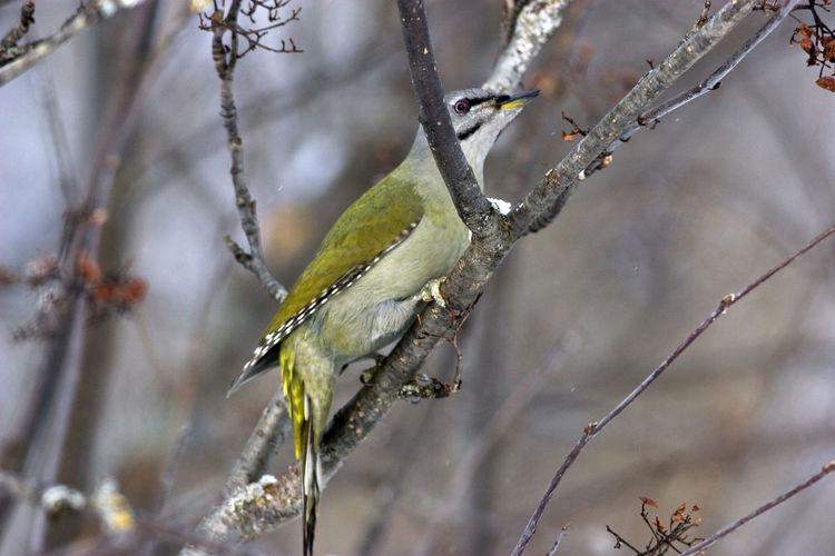 Animal Wildlife Animals In The Wild Beauty In Nature Bird Branch Grey Headed Woodpeker Nature One Animal Picus Canus Winter