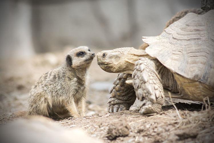 Meerkat By Tortoise At Zoo